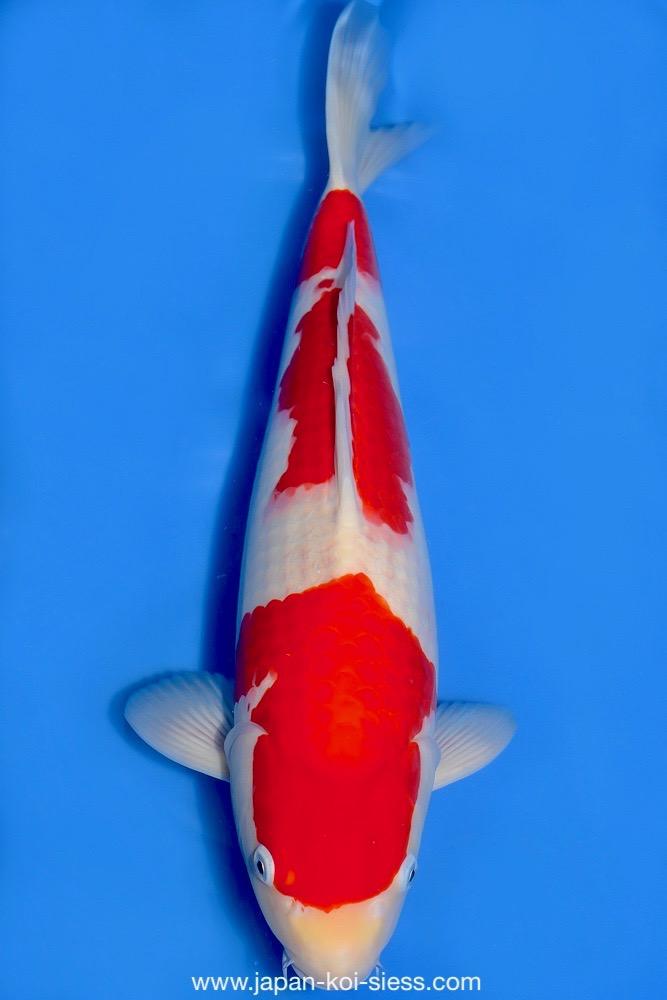 Bild zum Artikel: Kohaku, Nisai, Male, 47cm