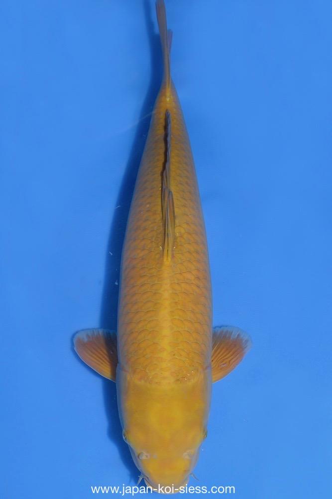 Bild zum Artikel: Chagoi, Nisai, Male, 54cm
