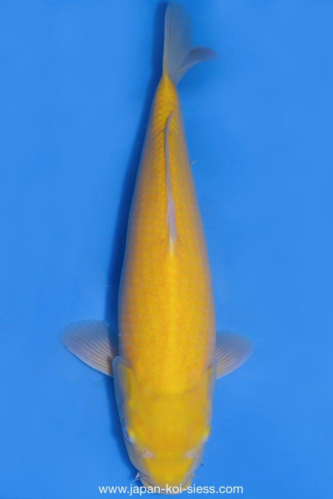 Bild zum Artikel: Karashigoi, Nisai, Male, 51cm