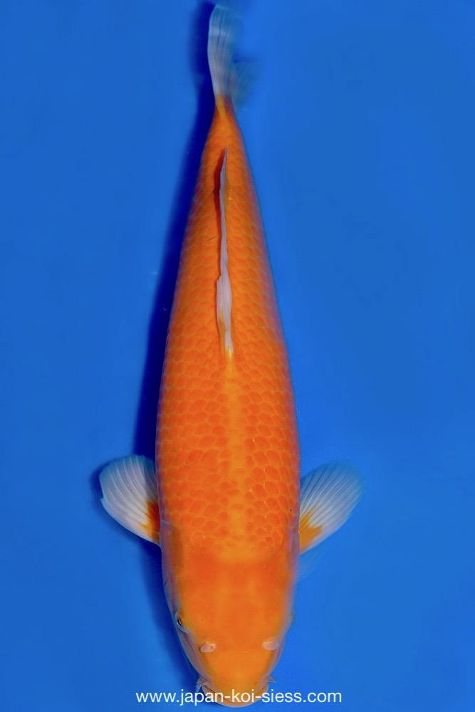 Bild zum Artikel: Karashigoi Orenji, Nisai, Male, 54cm
