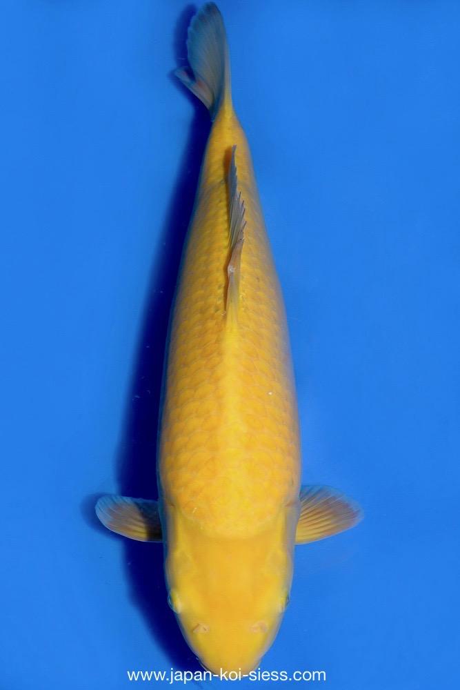 Bild zum Artikel: Karashigoi, Nisai, Female, 50cm