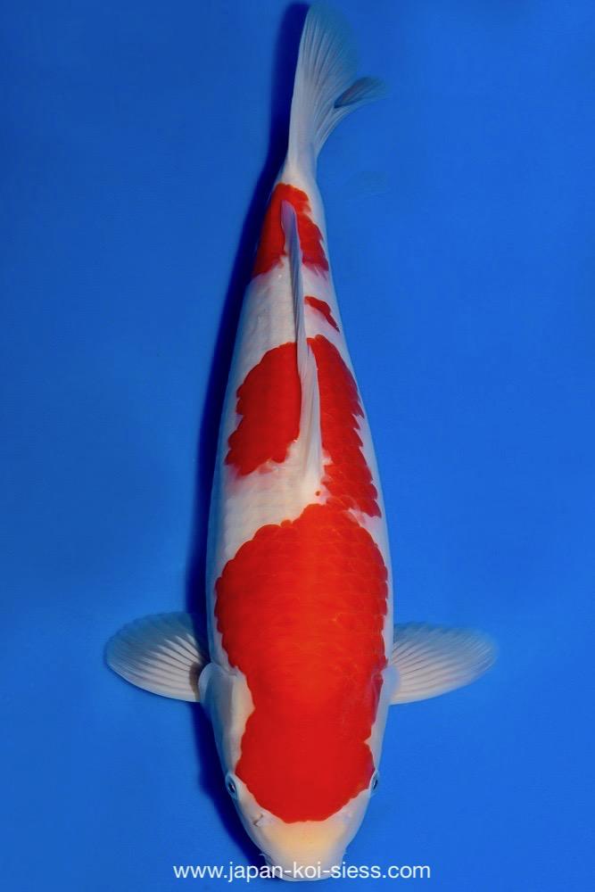 Bild zum Artikel: Kohaku, Nisai, Female, 47cm