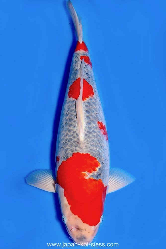 Bild zum Artikel: Goshiki, Nisai, Female, 49cm