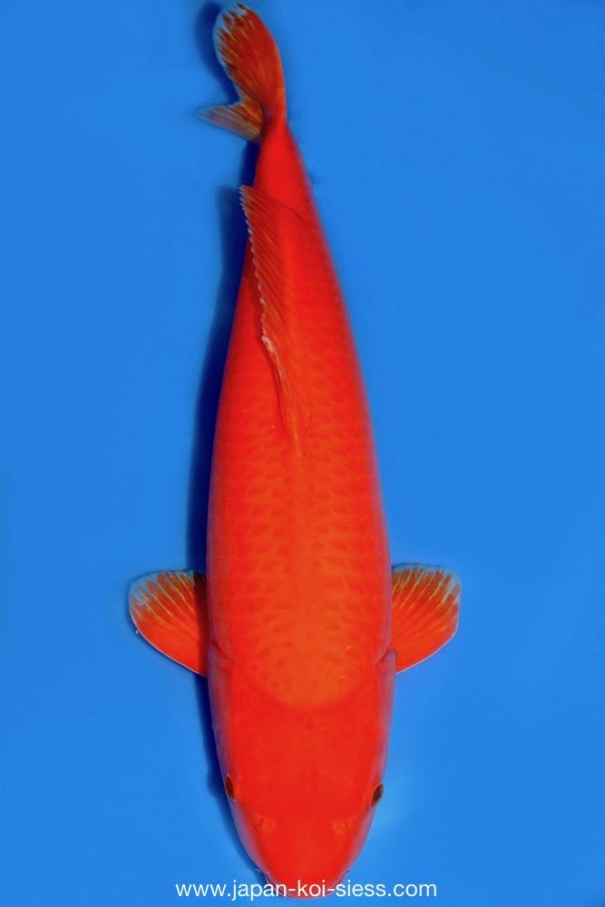 Bild zum Artikel: Benigoi, Sansai,Female, 82cm