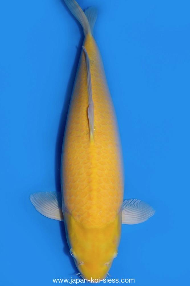 Bild zum Artikel: Karashigoi, Nisai, Female, 67cm