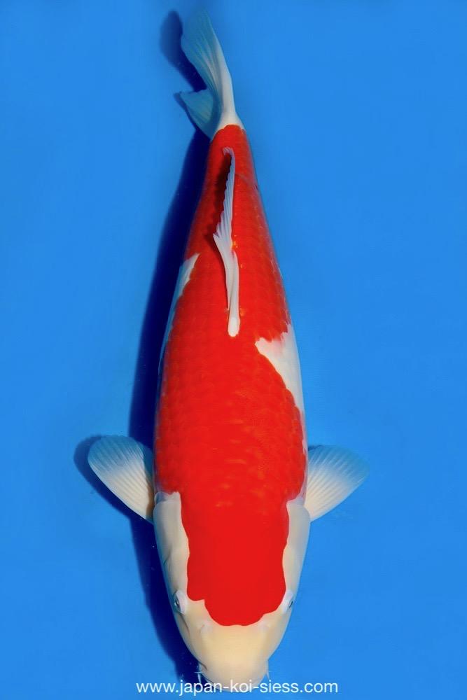 Bild zum Artikel: Kohaku, Nisai, Female, 58cm