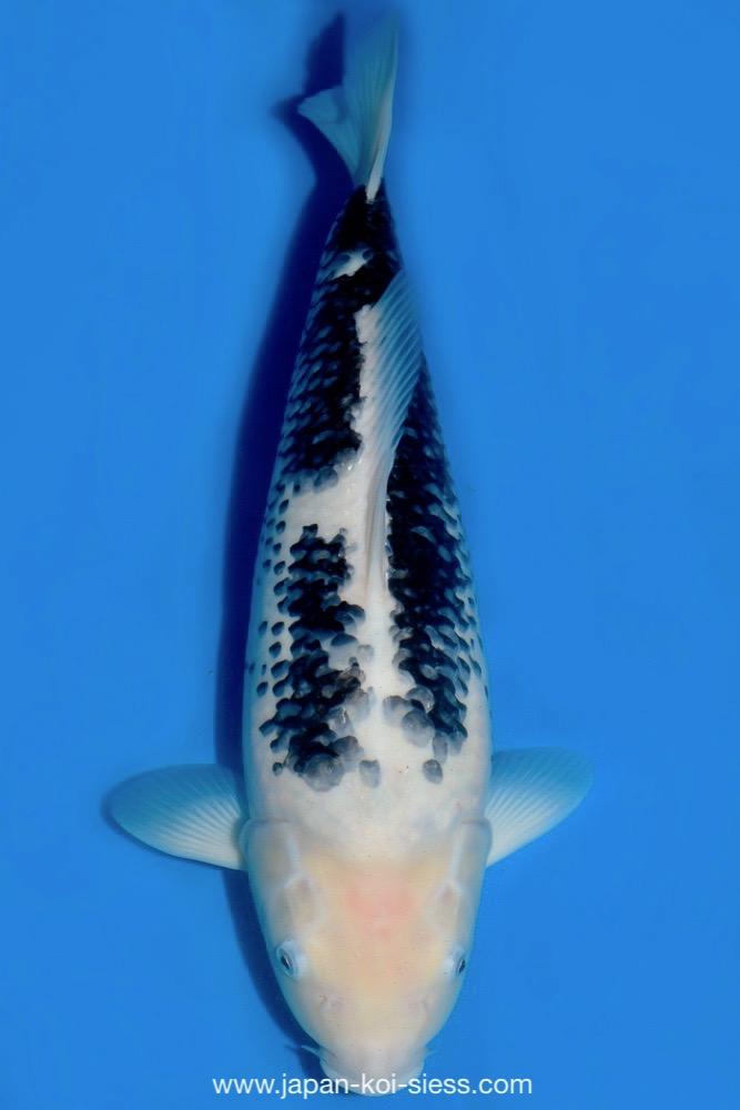 Bild zum Artikel: Matsukawabake, Nisai, Female, 52cm