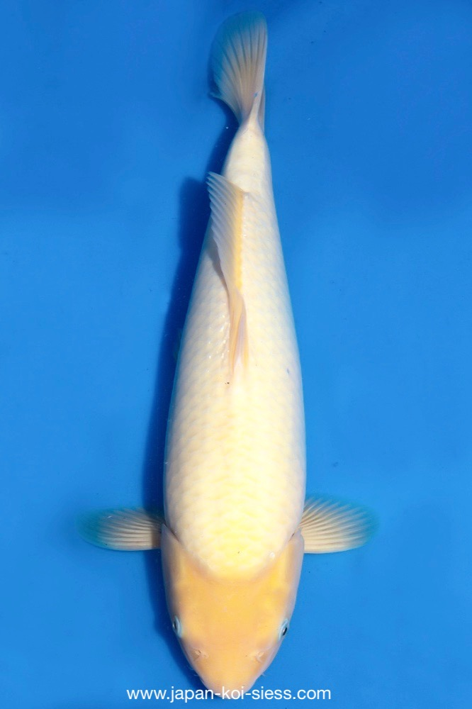 Bild zum Artikel: Matsukawabake, Gosai, Female, 61cm