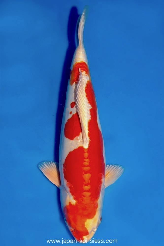 Bild zum Artikel: Kikusui, Sansai, Male, 53cm