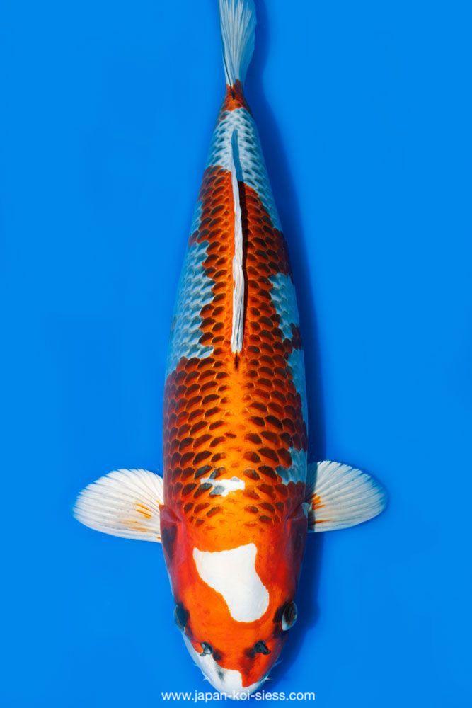 Bild zum Artikel: Kujaku, Nisai, Female, 58cm